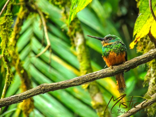 Birds You Can See at Mistico Birdwatching Tour