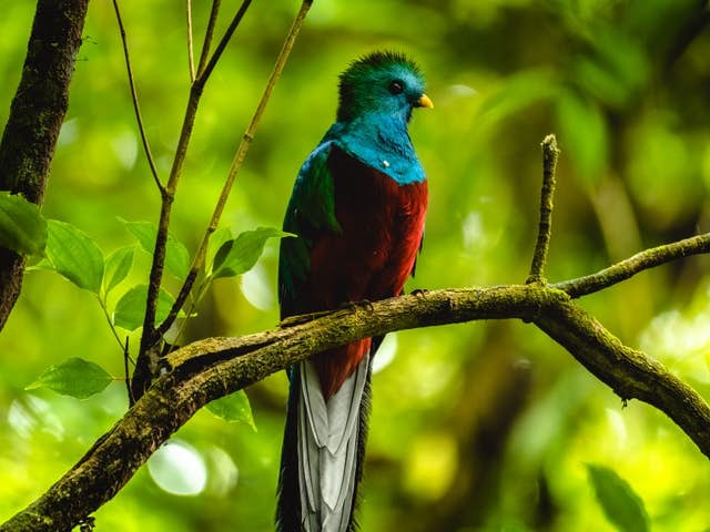 How and When to See the Resplendent Quetzal in Costa Rica