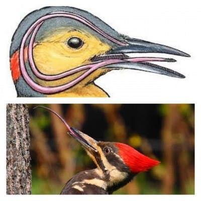 Woodpecker's Tonge