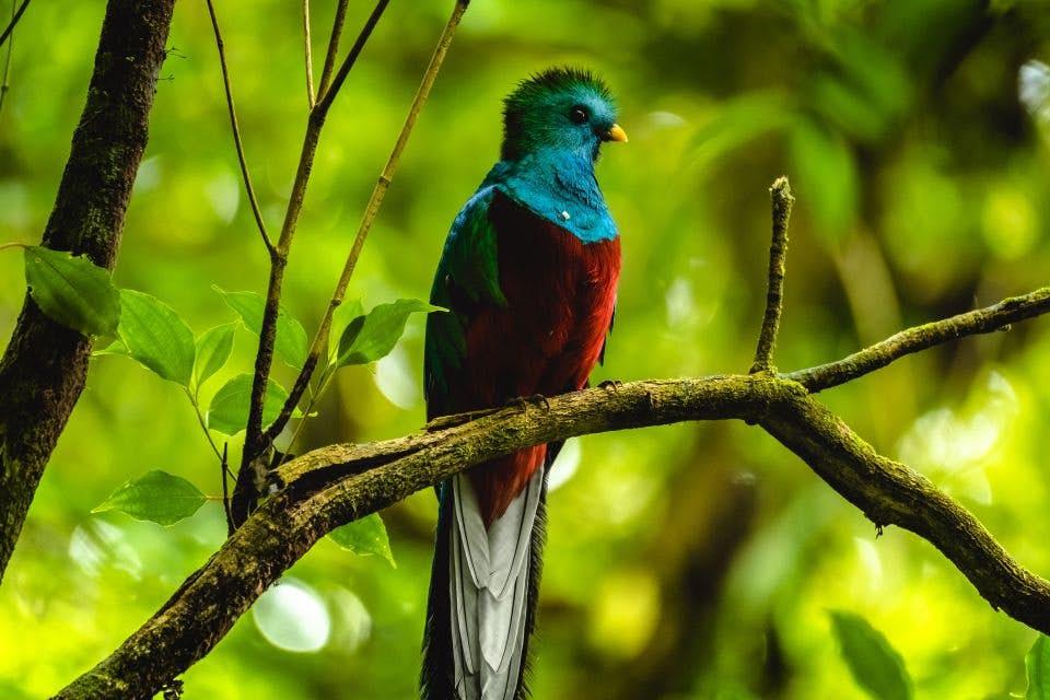Quetzal Bird Photo