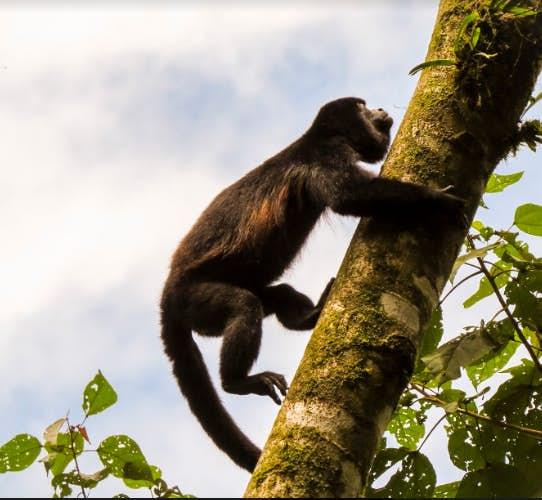 A monkey climbing a tree.
