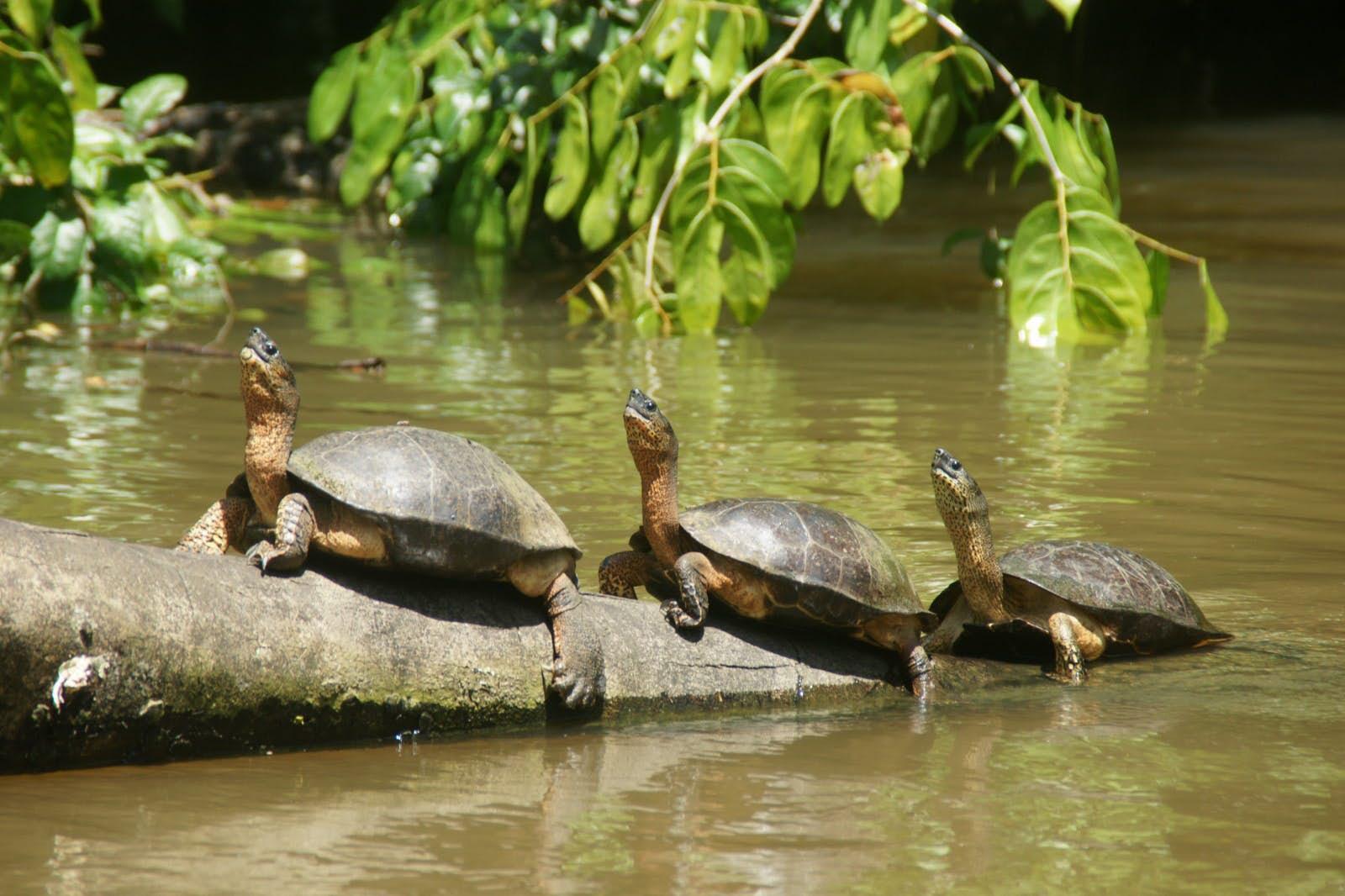 Fresh water turtles.